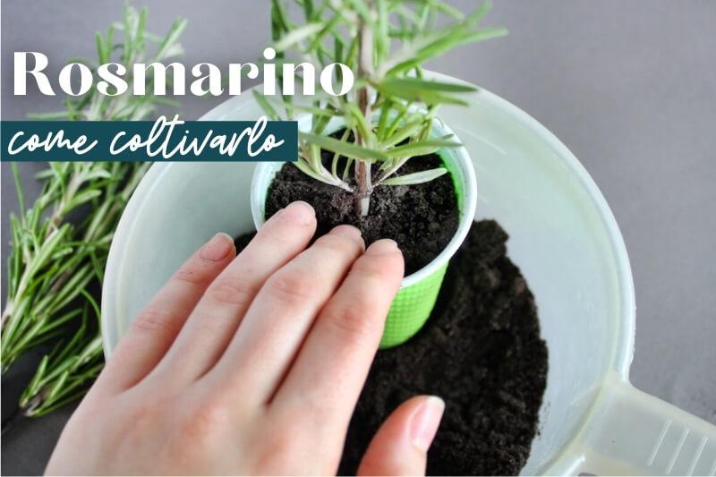 Come coltivare e raccogliere il rosmarino